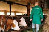 Tačka, veterina, trgovina, delo veterinarja - ogled krave velike živali